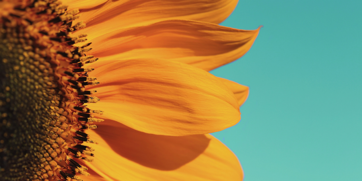 Part of a sunflower on turquoise/teal background