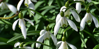 Snowdrops blooming in March