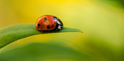 Ladybug on a leaf with blurry green background