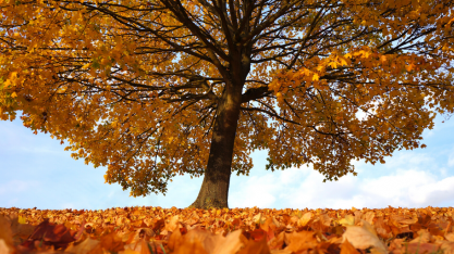 Tree with autumn canopy and autumn leaves covering the ground