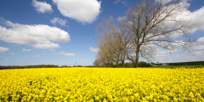 Field of daffodils with clouds and trees in distance