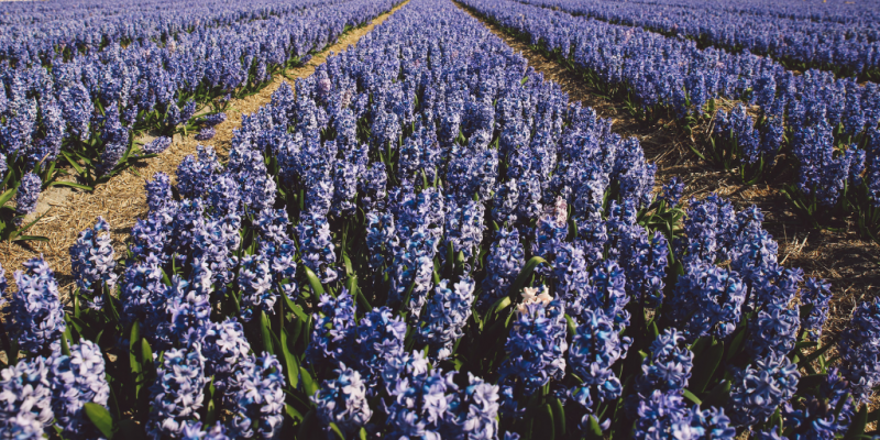 Field of lavender (or some other purple/indigo flower)