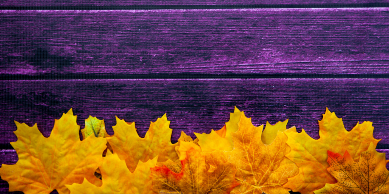 Yellow autumn maple leaves in front of wooden fence painted purple