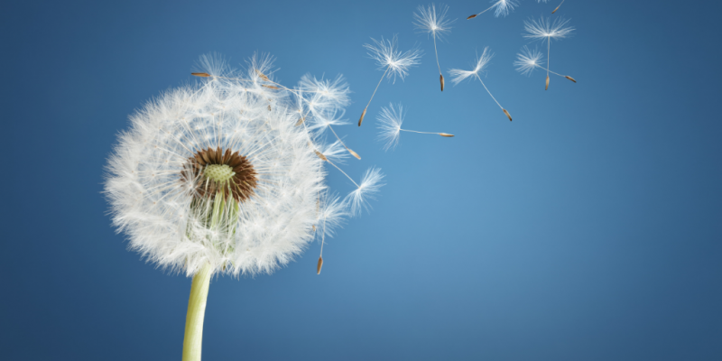 Dandelion with seeds getting blown away by the wind